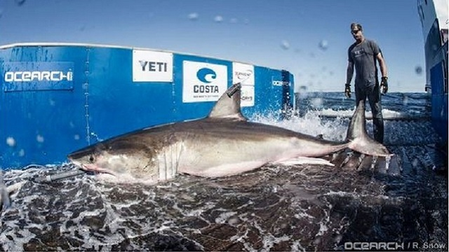 12 5 Foot Great White Shark